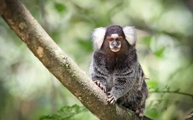 O sagui é a única espécie de macaco que pode ser domesticada legalmente
