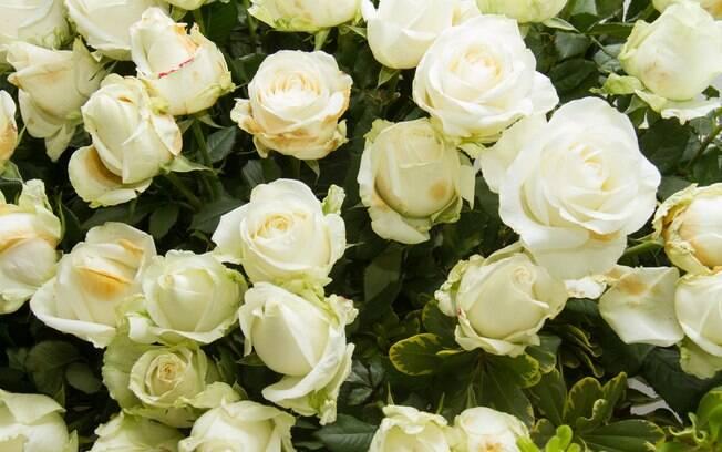 cultivo rosas jardim: tudo sobre rosas e saiba como fazer o cultivo – Jardinagem – iG