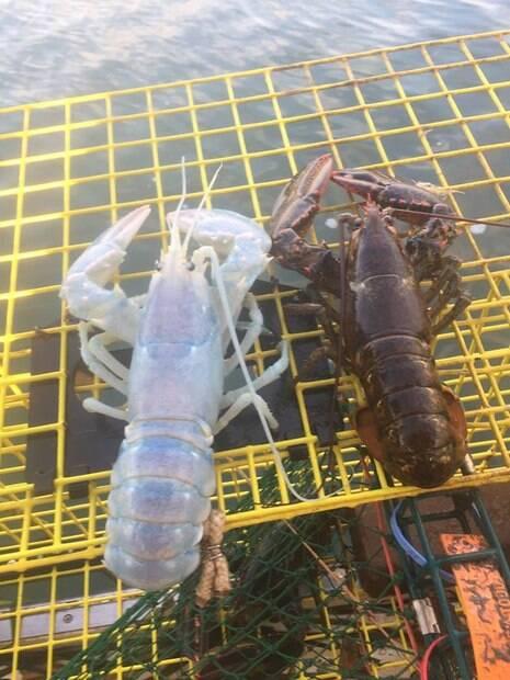 No estado do Maine, nos Estados Unidos, uma lagosta translúcida foi encontrada por um grupo de pescadores