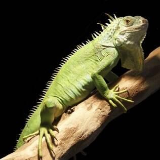 Iguana verde / Iguana comum: Saiba mais no Guia de Bichos | Canal ...