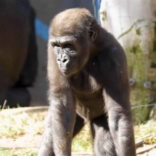 Gorila Leslie