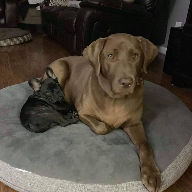Labrador e buldogue francês que são amigos