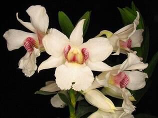 A espécie dendrobium é muito valorizada entre o público. A orquídea está na expo da Liberdade
