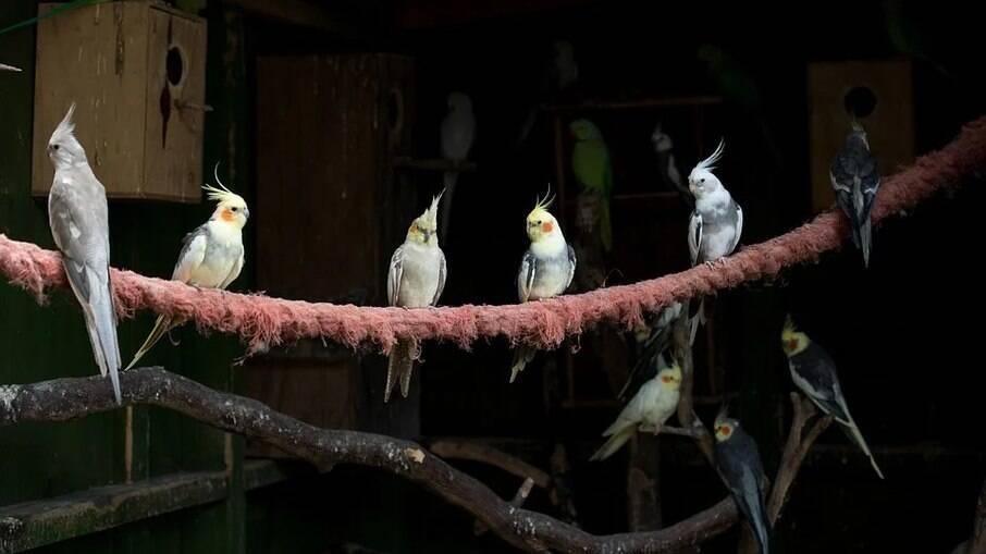 Calopsitas estão entre as aves mais populares