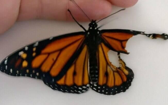 A borboleta nasceu sem parte da asa