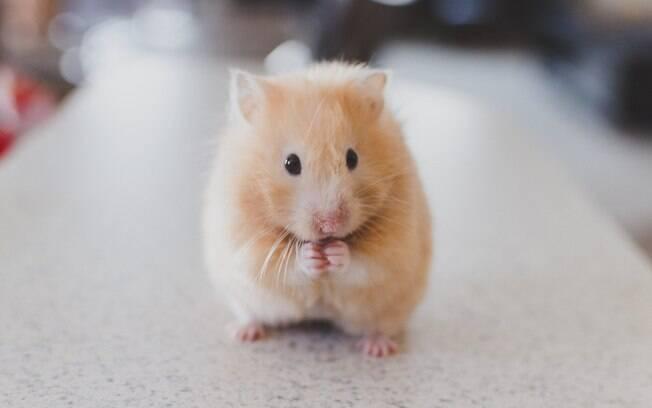 Motivos para ficar longe de hamsters