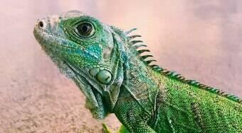 Por que ter um lagarto em casa? Confira 6 motivos decisivos