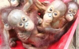 Bebês orangotangos vão à escola para aprender a viver na natureza - Meio Ambiente - iG