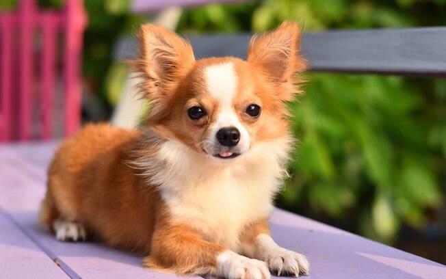 O Chihuahua é um dos menores entre as raças de cachorros que não crescem muito