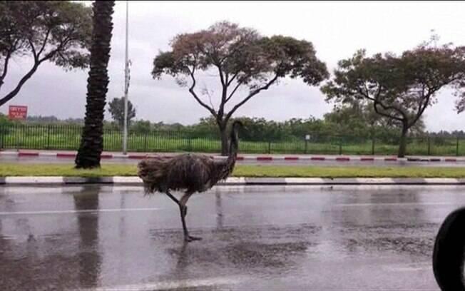 Emu é uma ave nativa da Austrália