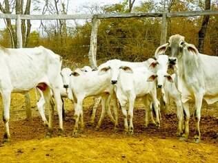 Seca. Estiagem atinge forte o Norte de Minas, onde mais de 3 milhões de cabeças de gado pastam