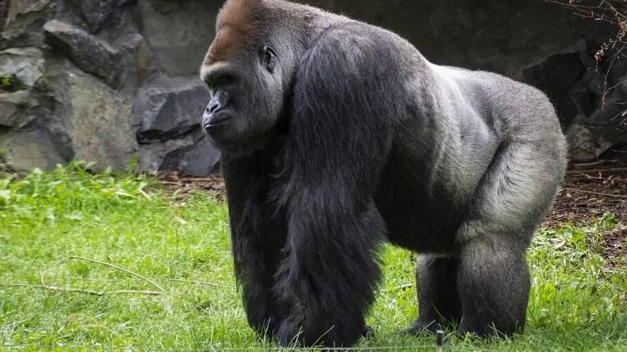 Gorila tentou arrastar mulher para dentro da floresta