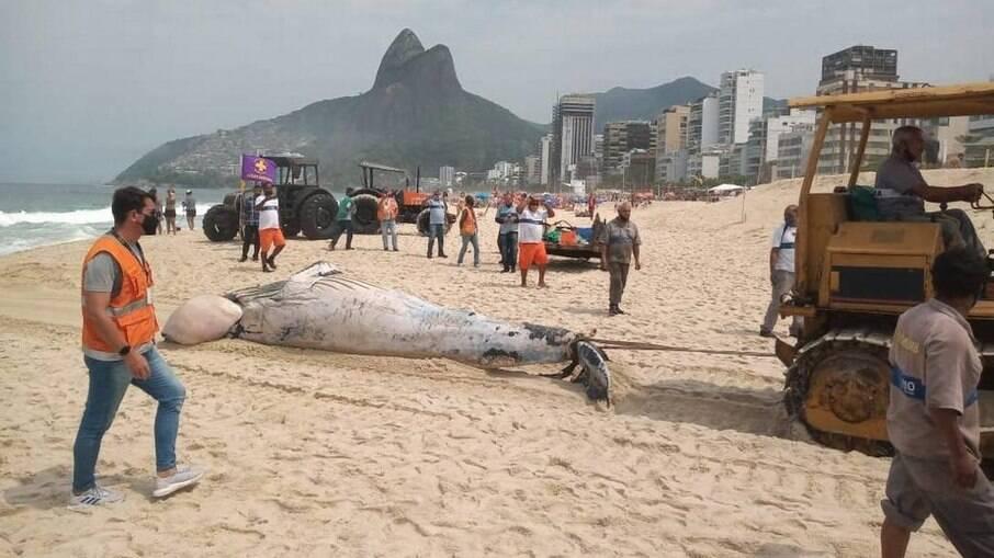 Equipe da Comlurb faz a remoção de baleia morta