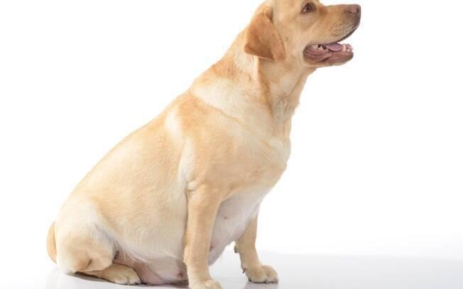 A mastite canina afeta cadelas durante a gestação, aquelas que tenham dado à luz recentemente e até durante gravidez psicológica