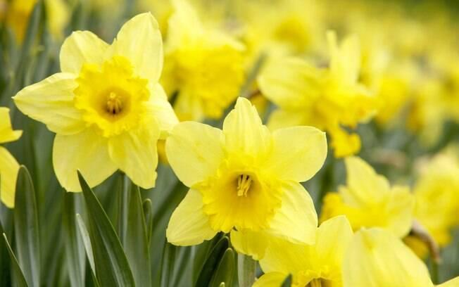 Espécies com flores amarelas trazem saúde para a família