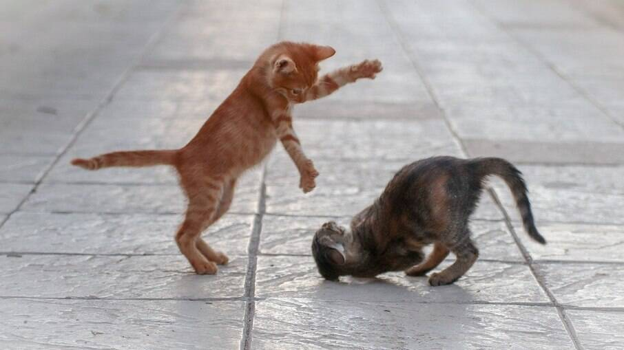 Os gatos brincam mais quando estão sob os efeitos da catnip