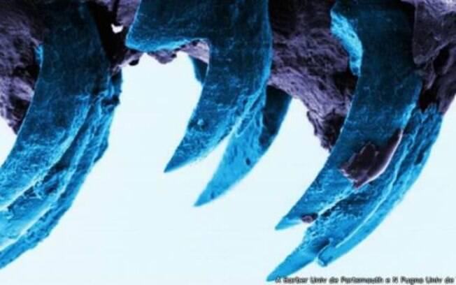 Dentes de moluscos possuem fibras finas de alta resistência