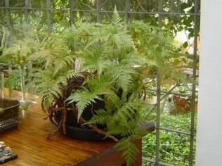 Samambaia é um exemplo de espécie que se adapta bem a ambientes fechados