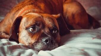 Um em cada cinco cães desenvolve câncer
