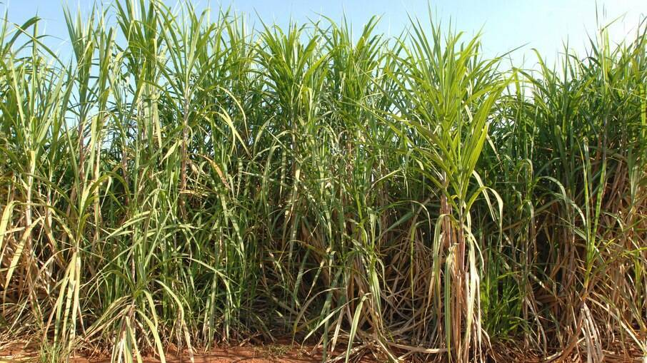 Plantação de cana-de-açúcar destinada à produção de etanol
