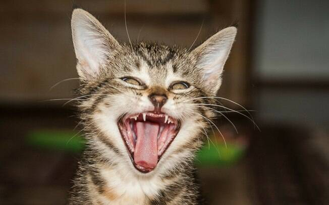 A língua do gato é áspera e possui papilas gustativas com direcionamento para dentro da boca