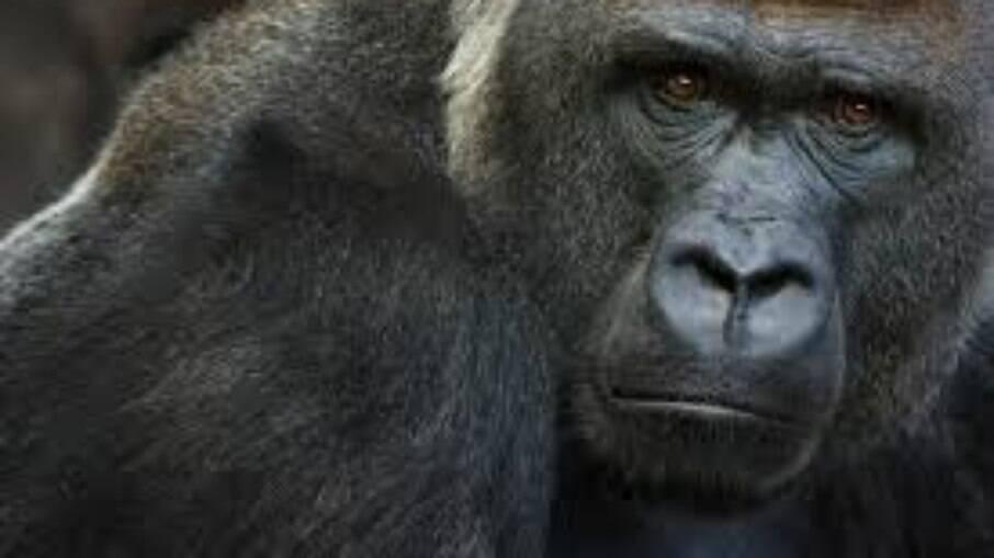Não é o primeiro caso de gorilas com Covid-19; em janeiro, oito gorilas contraíram a doença em um Zoológico de San Diego, nos EUA