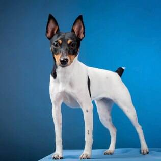 Terrier Brasileiro - undefined