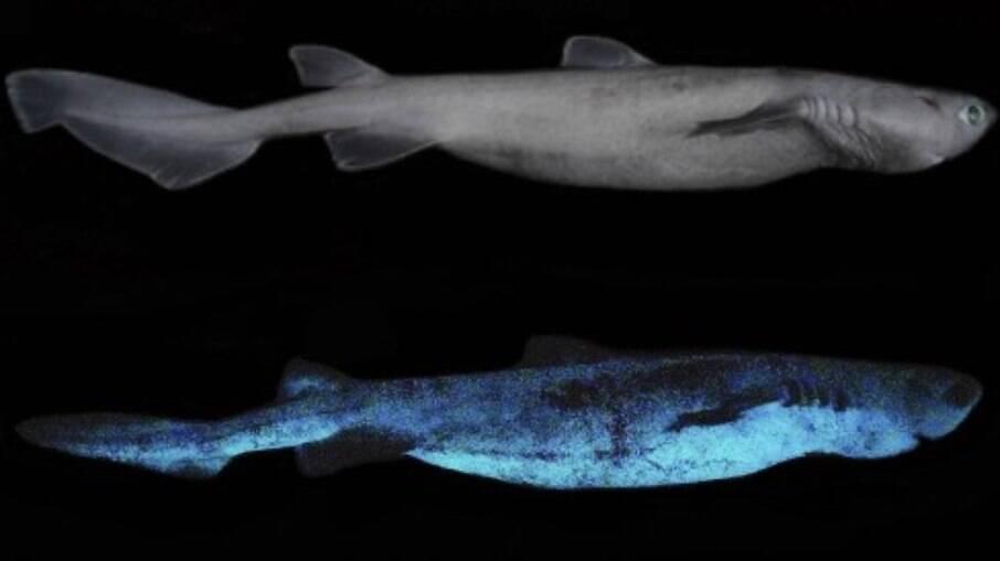 Tubarões que brilham no escuro são descobertos na Nova Zelândia