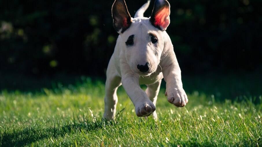 Eles são cães cheios de energia e adoram brincar