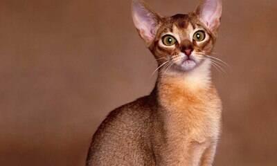 Abissínio, persa, bengal... Veja as 7 raças de gatos mais exóticas