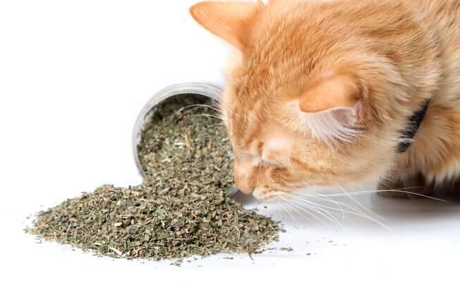 A erva do gato pode ser um aliado do dono na hora de atrair a atenção do animal