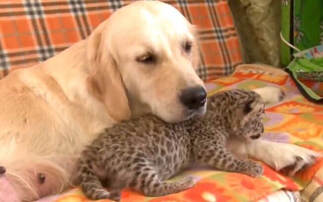 Cadela da raça Golden Retriever adota filhote de leopardo