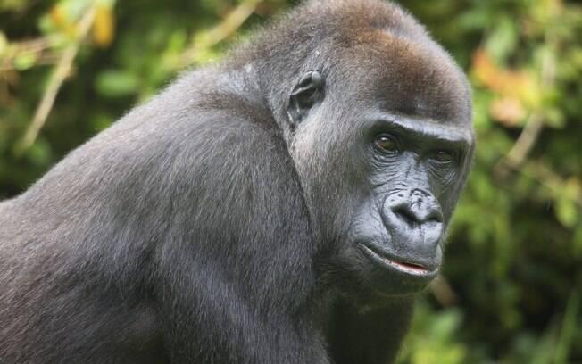 Gorila chama atenção por andar de maneira bípede em vídeo