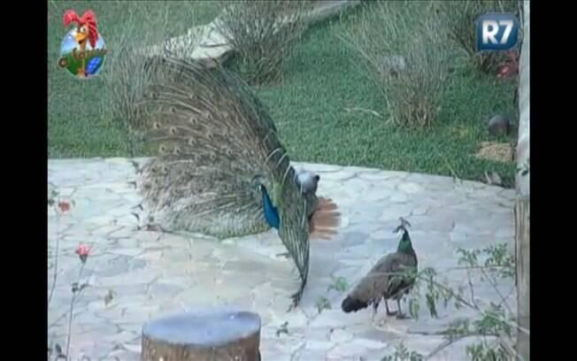 O pavão Clóvis abre sua penugem para encantar as fêmeas da fazenda