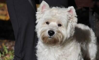Criado para caça, Westie é um cão inteligente e protetor