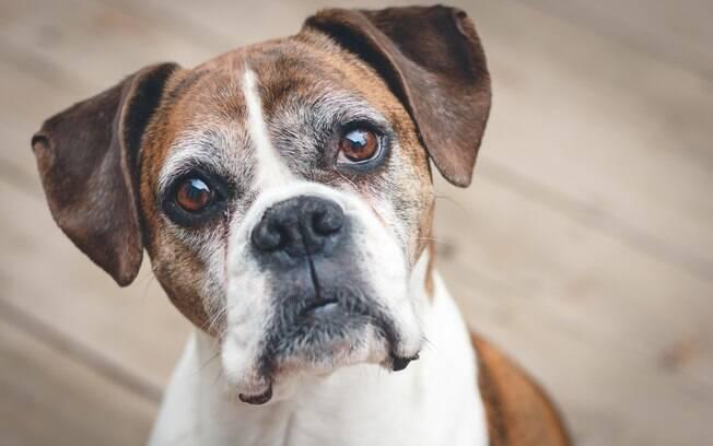 O Alzheimer é comum em cães idosos