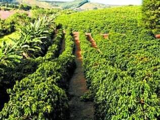 Certifica Minas Café permitirá a produtores obterem licença de padrão internacional