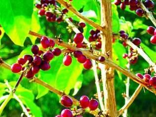 Custos. Segundo Abic, o grão de café representa hoje 70% do preço final do produto no Brasil