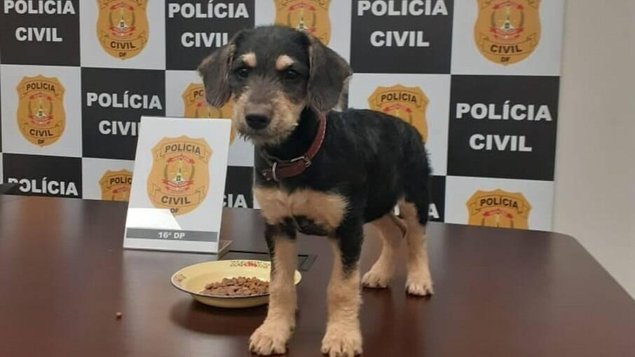 Cadela Safira, resgatada após dono ser preso por maus-tratos, no DF