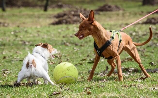 A melhor forma de evitar os ataques e alterações comportamentais é esterilizando a cachorrinha antes do primeiro cio. Se o problema for apenas hormonal, a castração irá resolver