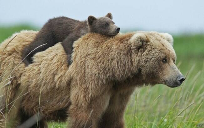 Mamãe urso carregando seu filhote