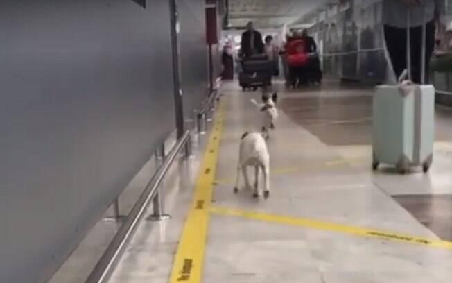 Os cachorros de Peter correndo ao seu encontro