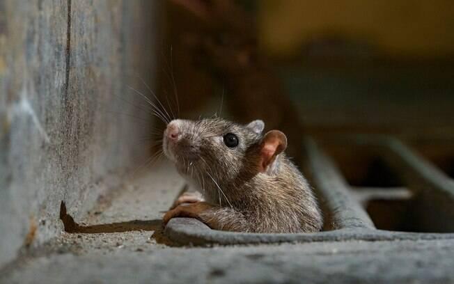 Rato saindo de seu esconderijo, em Nova York