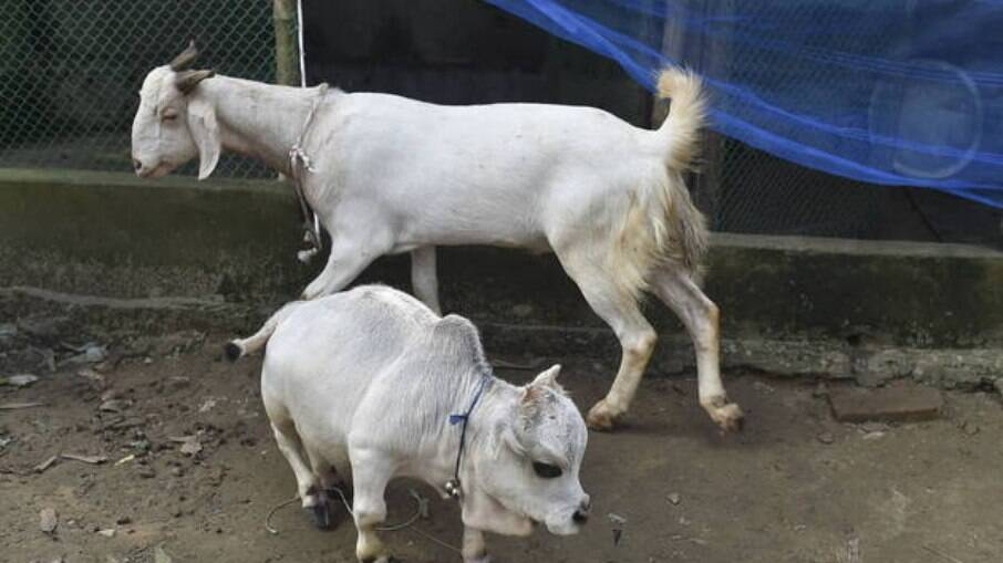 Vaca anã pesa 26 quilos e mede 66 centímetros de comprimento