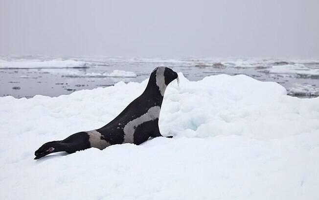 Raro exemplar de foca de fita, foca