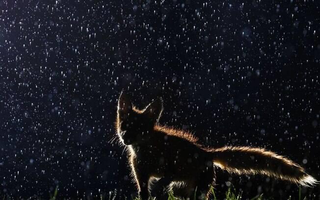 Raposa na chuva