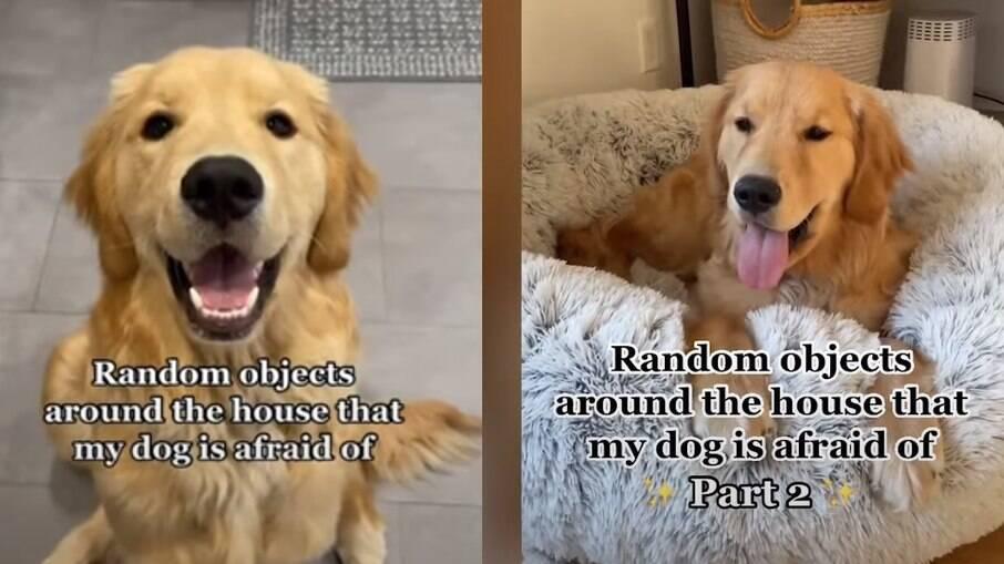 Golden retriever tem medo de objetos comuns da casa