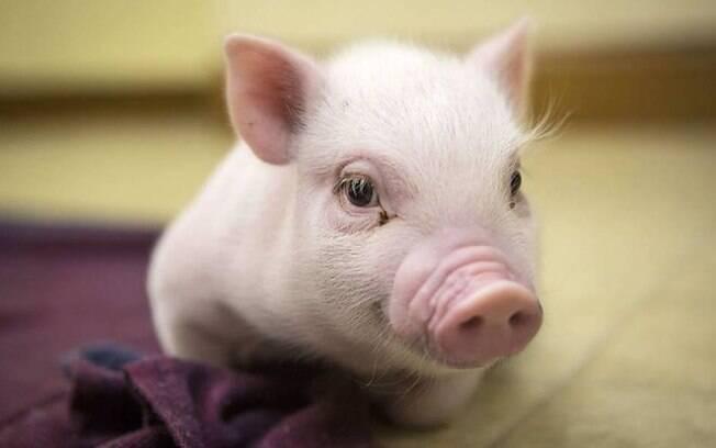 O porquinho Chris Bacon
