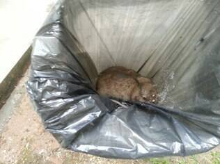 Ratos de grande porte foram capturados no local em novembro do ano passado