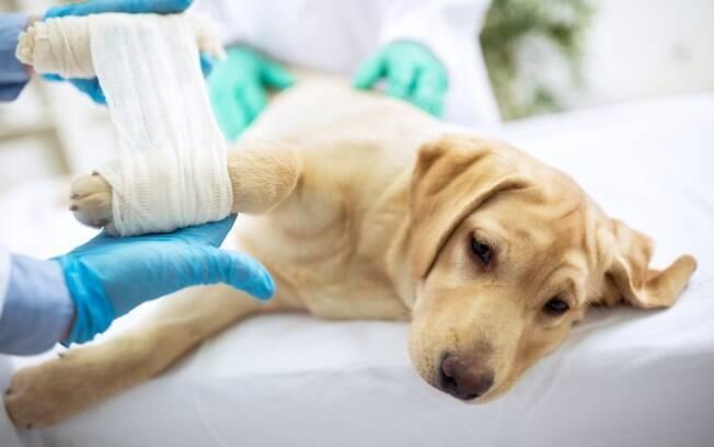 Se o atendimento médico ocorrer prontamente e da maneira correta, as chances de recuperação ao politraumatismo canino são grandes
